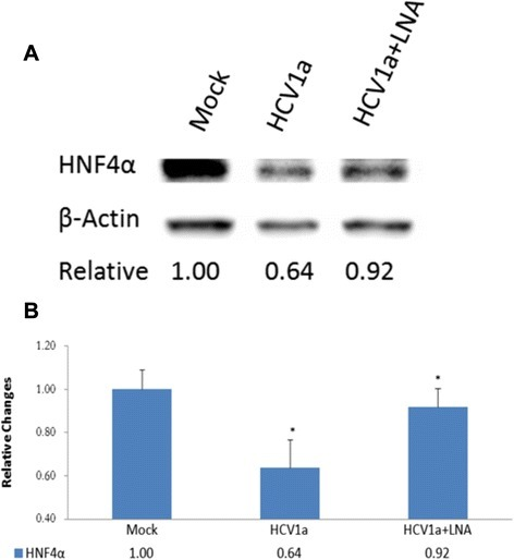 Inhibition of HNF4α in human hepatocytes transfected with HCV genomic RNA. Upper part (a) shows Western blots of HNF4α (from left to right), from mock transfected control cells, cells transfected with 1 μg HCV (H77) genomic RNA and (far right lane), cells transfected with 1 μg HCV RNA plus 50nM LNA-vmR-11antagomir. Cells were harvested 48 h post transfection. Lower part (b) shows relative change in HNF4α protein levels as compared to the mock-transfected cells (analyzed in triplicate Mean =/- SE, *p < 0.03)
