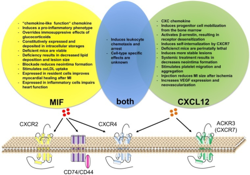 Similarities and differences of CXCL12 versus MIF function in cardiovascular disease. Both CXCL12 and MIF can bind to CXCR4. Additionally, CXCL12 can bind to ACKR3 (CXCR7), while MIF binds to CXCR2 and CD74/CD44. Although MIF interaction with ACKR3 has been described for platelets, it is still unclear whether this is via direct binding or via receptor heterodimerization. Both chemokines have an important role in leukocyte recruitment, although cell-type-specific effects remain unknown. Besides this, CXCL12 and MIF have individual functions associated with cardiovascular disease.
