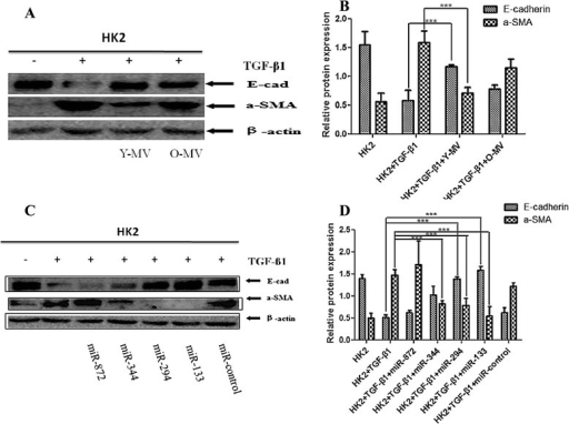 Effect of MVs and miRNAs on the inhibitory effect of TGF-β1 on the EMT in HK2 cells. a, c Western blot analysis of E-cadherin and α-SMA expression in HK2 cells under TGF-β1 stimulation co-cultured with Y-MV /O-MV or pre-transfection with miR-872, miR-344, miR-294, miR-133b -3p, and miR-control mimic. β-actin was used as internal control. b, d Quantification of E-cadherin and α-SMA protein levels in HK2 cells from each experimental group. **P < 0.05; n =3. α-SMA alpha-smooth muscle actin, EMT epithelial-mesenchymal transition, MV microvesicle, TGF-β1 transforming growth factor-beta 1