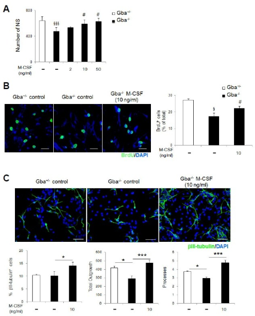 M-CSF enhances the self-renewal, proliferation, and neuronal differentiation of Gba−/− NSCs. (A) Gba−/− NSCs were treated with different concentrations of recombinant murine M-CSF (2-50 ng/ml), and self-renewal was assessed. M-CSF at concentrations of 10 and 50 ng/ml increased the number of Gba−/− NSs (n = 3 per group). (B) M-CSF affects the proliferation of Gba−/− NSCs (scale bar, 20 μm). Proliferation ability was assessed by the percentage of BrdU-positive cells (n = 3 per group). (C) Representative fluorescence images and quantitation of βIII-tubulin (scale bar, 50 μm; n = 3 per group). All data are presented as the mean ± SEM. §p < 0.05, §§§p < 0.005 compared with Gba+/− controls. #p < 0.05 compared with non-treated controls. *p < 0.05, ***p < 0.005.