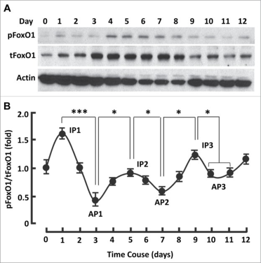 The kinetics of FoxO1 activation followed a series of sigmoid curves during adipogenesis. (A) Western blots showing FoxO1 expression (i.e., tFoxO1), activation (i.e., dephosphorylation) and inactivation (i.e., phosphorylation) during adipogenesis. β-actin was probed as the loading control. (B) Densitometric analysis of protein gel blot images with NIH ImageJ software; n = 3−5. AP, activation peak; IP, inactivation peak. * P < 0 .05; and ***, P < 0 .0001.