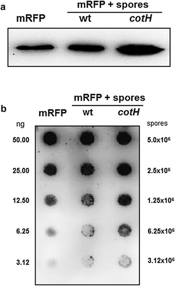 "Western (a) and dot (b) blot of proteins extracted from wild type and cotH mutant spores after mRFP-spore adsorption. Purified recombinant mRFP is used as marker. In panel b the amount of purified recombinant mRFP (ng) and the number of spores present in each dilution are indicated. Immuno reactions were performed with anti-His primary antibody conjugated with horseradish peroxidase (""Methods'' section)"