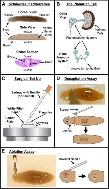 Planarian Model System And Microsurgical Assays A Pl Open I