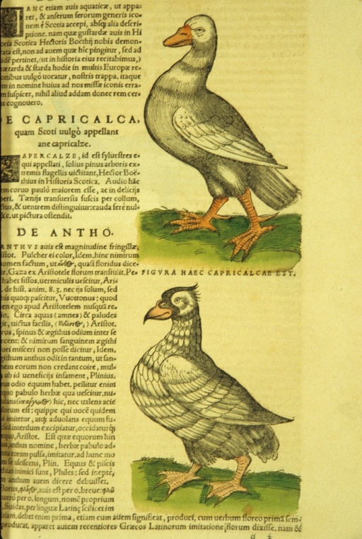 <p>Two separate hand-colored woodcuts of the birds, each in profile.</p>
