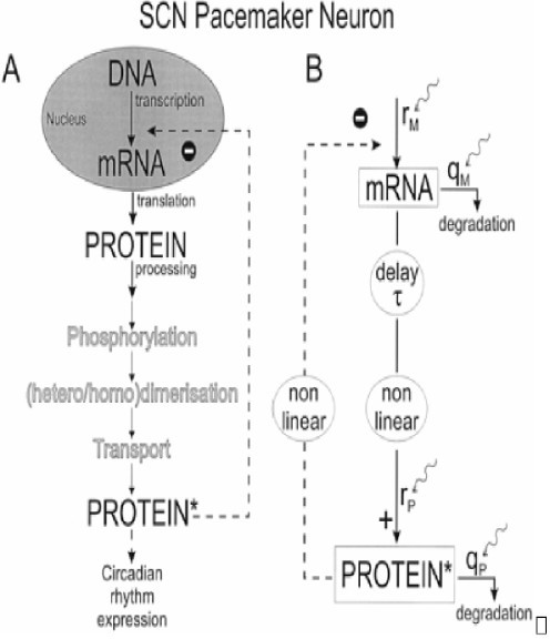 (A) Diagram of the biological elements of the protein synthesis cascade for a circadian rhythm generator. (B) Model interpretation of A showing the delay (τ) and nonlinearity in the protein production cascade, the nonlinear negative feedback, and mRNA and protein production (rM, rP) and degradation (qM, qP). Adapted from ref. [10].