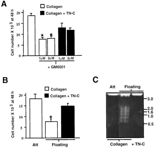 Matrix metalloproteinases and tenascin-C act as vascular smooth muscle cell survival factors. (A) Smooth muscle cells  (2 × 104 cells per dish) plated on type I collagen were maintained  in serum-free control medium with 0.4% DMSO and 50 ng/ml  EGF, or in control medium supplemented with 1 or 2 μM of  GM6001 and EGF. GM6001 treatment resulted in a significant  decline in SMC numbers by 48 h, whereas addition of exogenous  human TN-C protein (15 μg/ml) to attached collagen substrates  inhibited this effect. (B) Effect of exogenous TN-C on SMC numbers on floating collagen gels. A significant decline in SMC numbers is apparent on floating compared to attached collagen gels  (P < 0.05), whereas addition of TN-C suppresses this effect. Values shown in C and D represent mean ±SEM derived from three  experiments. The asterisk denotes a P < 0.05 difference from cell  numbers recorded on collagen gels in EGF-containing medium.  (C) Effect of TN-C on SMC apoptosis on floating collagen gels.  Smooth muscle cells plated on attached type I collagen gels (2 ×  104 cells per dish) were maintained in SFM with EGF (50 ng/ml)  for 48 h or were floated in the same medium, either with or without addition of exogenous human TN-C (15 mg/ml). Genomic  DNA was isolated from each culture and 10 μg per sample was  analyzed on 1% agarose gels. DNA fragments comprised of  ∼180-bp multimers, which are indicative of apoptosis, were apparent on floating collagen gels. In contrast, no evidence of DNA  fragmentation was observed on either attached or TN-C–supplemented floating collagen. Positions of a standardized DNA ladder in kb are indicated on the right.