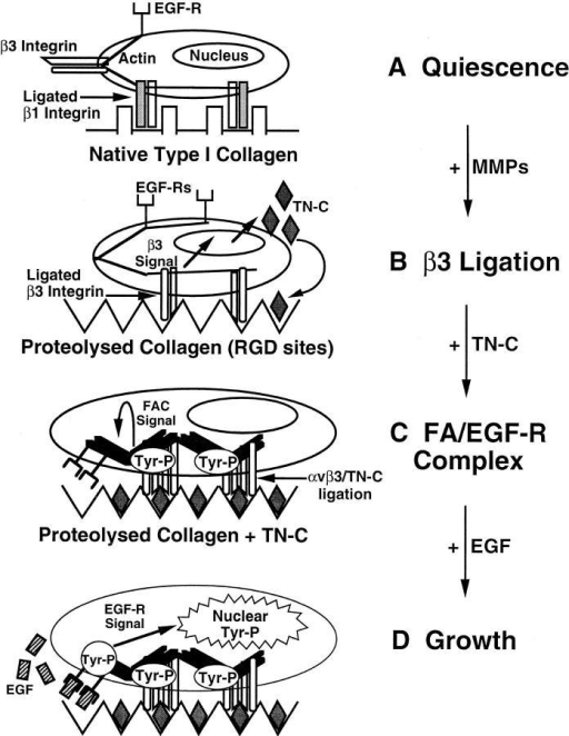 Hypothetical model for the  regulation and function of tenascin-C  in vascular smooth muscle cells. (A)  Vascular smooth muscle cells attach  and spread on native type I collagen  using β1 integrins. Under serum-free  conditions, the cells withdraw from the  cell cycle and become quiescent. (B)  Degradation of native type I collagen  by matrix metalloproteinases (MMPs)  leads to the exposure of cryptic RGD  sites that preferentially bind β3 subunit–containing integrins. In turn, occupancy and activation of β3 integrins  signals the production of TN-C. (C) Incorporation of multivalent TN-C protein into the underlying substrate leads  to further aggregation and activation  of β3-containing integrins (αvβ3), and to  the accumulation of tyrosine-phosphorylated (Tyr-P) signaling molecules and  actin into a focal adhesion complex  (FAC). Note that even in the absence  of the EGF ligand, the TN-C–dependent reorganization of the cytoskeleton leads to clustering of actin-associated EGF-Rs. (D) Addition of EGF  ligand to clustered EGF-Rs results in  rapid and substantial tyrosine phosphorylation of the EGF-R and activation of downstream pathways culminating in the generation of nuclear  signals leading to cell proliferation.