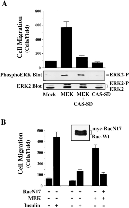 ERK-induced cell migration requires CAS/Crk and Rac activity. (A) Upper panel, serum-starved COS-7 cells were allowed to migrate for 3 h on vitronectin-coated membranes after transient transfection with a β-gal reporter construct, along with either the empty expression vector or with expression vectors encoding mutationally activated MEK, or MEK cotransfected with dominant negative CAS (CAS-SD). The number of transfected cells migrating were enumerated by counting cells on the underside of the membrane that coexpress the β-gal vector as described in Materials and Methods. Each bar represents the mean ± SEM of at least three independent experiments. Lower panels, cells treated as described for the migration experiment above were lysed in detergent and immunoblotted with antibodies to the activated form of ERK1/ERK2 (middle panel) or ERK2 (lower panel). The upper band recognized by the ERK2 antibody represents the phosphorylated/activated form of this protein (ERK2-P) that has reduced mobility as a result of being phosphorylated. Similar results were obtained with ERK1 protein (data not shown). (B) Serum-starved COS-7 cells were allowed to migrate for 3 h on vitronectin-coated membranes after transient transfection with a β-gal reporter construct, along with either the empty expression vector or with expression vectors encoding mutationally activated MEK, or MEK together with dominant negative myc-tagged Rac (RacN17) in the presence or absence of insulin (10 μg/ml) in the lower chamber. An aliquot of cells transfected with RacN17 and lysed and immunoblotted with an antibody to Rac is shown (top right). Note that RacN17 migrates slower as the result of the myc tag compared with endogenous wild-type Rac (Rac-Wt). Each bar represents the mean ± SEM of at least three independent experiments.