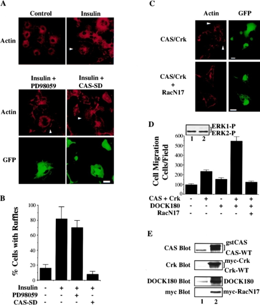 CAS/Crk association, but not ERK activation, is required for Rac-dependent membrane ruffling. (A) Serum-starved COS-7 cells in the presence or absence of insulin (10 μg/ml for 15 min) were stained with rhodamine-conjugated phalloidin, then analyzed by confocal imaging for F-actin (red) containing membrane ruffles after being transfected with either the empty vector (control) or the vector encoding dominant negative CAS (CAS-SD) along with a reporter vector encoding green fluorescent protein (GFP) to identify transfected cells. In some cases, control cells were pretreated for 2 h with 50 μM of PD98059 to inhibit ERK activity before being exposed to insulin as described above. Photomicrographs were taken with a Bio-Rad Labs 1024 laser and a Zeiss Axiovert microscope (400×). Arrowheads indicate cells with prominent F-actin membrane ruffles. (B) COS-7 cells treated as described above were scored for membrane ruffles as described in Materials and Methods. Results are expressed as the percentage of total transfected cells (i.e., green cells) that displayed prominent F-actin membrane ruffles and are the mean ± SEM of three separate experiments. (C) COS cells were transfected with expression vectors encoding CAS, Crk, and dominant negative RacN17, along with a reporter vector encoding GFP, then examined for actin membrane ruffles as describe above. Photomicrographs of CAS/Crk cells (400×) and RacN17 expressing cells (600×) were taken with a Bio-Rad Labs 1024 laser and a Zeiss Axiovert microscope. Arrowheads indicate cells with prominent F-actin membrane ruffles. (D) COS-7 cells transfected with either wild-type DOCK180, gst-tagged CAS and myc-tagged Crk, or CAS and Crk, together with DOCK180 and/or myc-tagged RacN17 were examined for cell migration as described above. An aliquot of cells transfected with CAS/Crk and DOCK180 (lane 2) or cells mock-transfected with the empty vectors (lane 1) as described for the migration experiment above were lysed in detergent and immunoblotted with antibodies to the phosphorylated/activated form of ERK1/ERK2 as described above (top left). Note that in these experiments cells were transfected with CAS/Crk vectors at DNA levels that give half-maximal migration. Each bar represents the mean ± SEM of at least three independent experiments. (E) An aliquot of cells treated as for the migration experiment above were lysed in detergent then immunoblotted with antibodies to CAS, Crk, DOCK180, or myc to detect myc-tagged RacN17. Lane 1, control cells transfected with the empty vectors. Lane 2, cells transfected with the vector containing the cDNA as indicated. Note that the gstCAS and mycCrk proteins show reduced mobility compared with endogenous wild-type forms of these proteins as the result of the molecular tag. Bars, 10 μm.