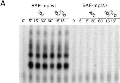 Induction of GAS-binding activity in BAF-mplwt but not  BAF-mplΔ7 cells. (a) Growth factor–deprived cells were left untreated or  were stimulated with TPO. The time points and the TPO concentrations  analyzed are indicated. Cell extracts were prepared and analysed by  EMSA using the IRF-1 GAS probe. GAS-binding activity was detected  in BAF-mplwt but not BAF-mplΔ7 cells. (b) The identity of the GAS-binding complexes in BAF-mplwt cells (5′ stimulation) was examined in  supershift assays with antibodies specific for STAT1, 3, and 5 ( STAT5a  and STAT5b antibodies were pooled). (c) Antiphosphotyrosine blot of  STAT3 immunoprecipitates shows that STAT3 is tyrosine phosphorylated after TPO-stimulation of the wild-type but not the mutant receptor.  Membrane was stripped and reprobed with anti-STAT3 antibodies to  confirm equal protein loading.