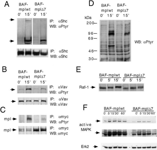 Effect of TPO stimulation on Shc, Vav, the receptor  itself, Raf-1, and MAPK.  Growth factor-deprived BAF-mplwt and BAF-mplΔ7 cells  were either left untreated or  stimulated with TPO for the indicated times and cell extracts  were prepared. Immunoprecipitations were performed with antibodies to Shc (a), Vav (b), and  myc (c) and the immunoprecipitates were blotted with antiphosphotyrosine antibodies (a–c). To  confirm equal loading of protein,  membranes were stripped and  reprobed with the antibodies  used for immunoprecipitations  (lower panel of a–c). In (c) a  higher amount of c-mplΔ7 protein was immunoprecipitated. (d)  Antiphosphotyrosine immunoblot of total cell lysates. (e) Cell lysates were immunoblotted with  an antibody to Raf-1. The lower  mobility of Raf-1 seen after  stimulation with TPO in BAF-mplwt and BAF-mplΔ7 reflects  the increased phosphorylation of  Raf-1 on serine. (f) Cell lysates  were immunoblotted with anti-active MAPK antibodies which  recognize the active forms of  Erk-1 and Erk-2 (different exposures of the same membrane are  shown in the upper and middle  panel). Membranes were stripped  and reprobed with anti-Erk2 antibodies to confirm equal protein  loading.