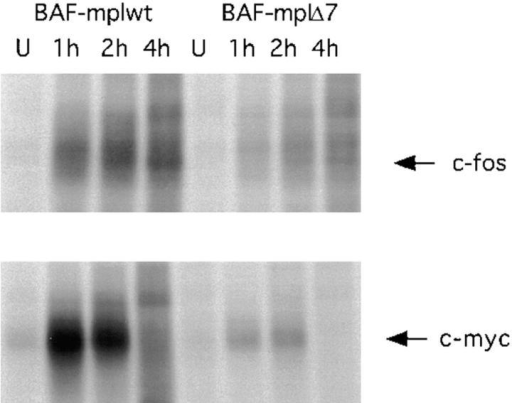 TPO stimulates c-fos and c-myc synthesis in BAF-mplwt and  BAF-mplΔ7 cells. Growth factor–deprived cells were washed twice and  incubated for 30 min at a density of 107 per ml in RPMI 1640 deficient in  methionine and cysteine (ICN). Cells were metabolically labeled as described (36) by adding 0.5 mCi of [35S]methionine (Translabel; ICN) per  ml to the cell suspension. TPO (200 ng/ml) was added simultaneously  and cells were incubated for the indicated times. Unstimulated (U) cells  were incubated with [35S]methionine in the absence of TPO for 1 h. Cell  extracts were prepared and c-fos and c-myc were immunoprecipitated  with antibodies to c-fos (top) or c-myc (bottom). Immunoprecipitates were  resolved by SDS-PAGE (7.5% gel) and analyzed by fluorography. Signals  were quantified with a PhosphorImager.