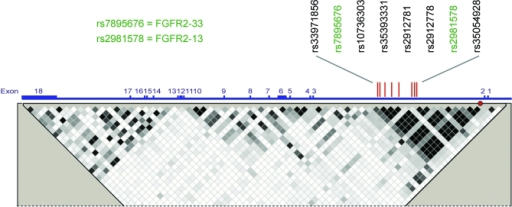 Diagram of the FGFR2 GeneGenetic linkage is taken from HapMap, and the positions of the eight candidate SNPs (red lines) within intron 2 are indicated. The two SNPs for which data are presented in this study are shown in green. Red circle: original tagging SNP rs2981582.