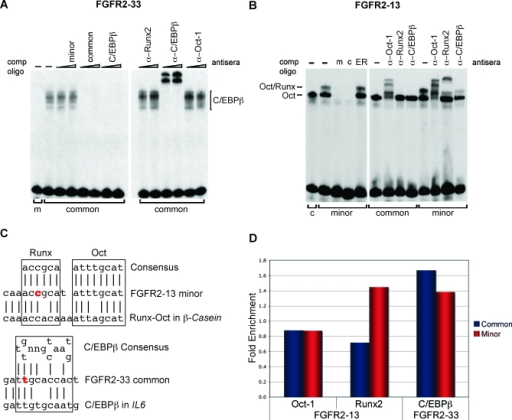 Protein–DNA Interactions at FGFR2–33 and FGFR2–13 In Vitro and In VivoEMSAs on (A) FGFR2–33 and (B) FGFR-13 minor (m) and common (c) alleles, using 5 μg (FGFR2–33) and 2 μg (FGFR2–13) of HCC1954 nuclear extracts. Competitor oligonucleotides (minor, common, and ER as negative control) and antisera are indicated above each lane.(C) Alignment of the sequence around FGFR2–33 with binding site of C/EBPβ in the IL-6 promoter [15] and of FGFR2–13 with the Oct/Runx site in the β-casein gene [18]. The SNP is shown in red and the allele binding the transcription factor is shown.(D) ChIP assays for FGFR2–13 and FGFR2–33. Enrichment for the minor (HCC70–/–) and the common (T47D+/+) genotype is given relative to a negative control (TRXR2, located on 22q11.2) after normalisation against rabbit IgG.