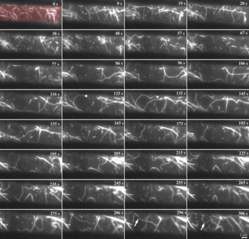 The cortical actin array is remodeled continuously. Representative epidermal cell from a 5-d-old, dark-grown hypocotyl expressing GFP-fABD2 was observed with time-lapse VAEM. Successive images were made at ∼3-s intervals and every third image is depicted. Actin filament behaviors such as rapid growth (open arrowheads), buckling and straightening (red dots and asterisk), and severing activity (arrows) are marked. Collectively, this dynamic actin behavior resulted in rather short filament lifetimes (<30 s) and constant remodeling of the cortical array. Time points indicate the elapsed time from start of video sequence. See also Video 2 (available at http://www.jcb.org/cgi/content/full/jcb.200806185/DC1) for the full time-lapse series. Bar, 2 µm.