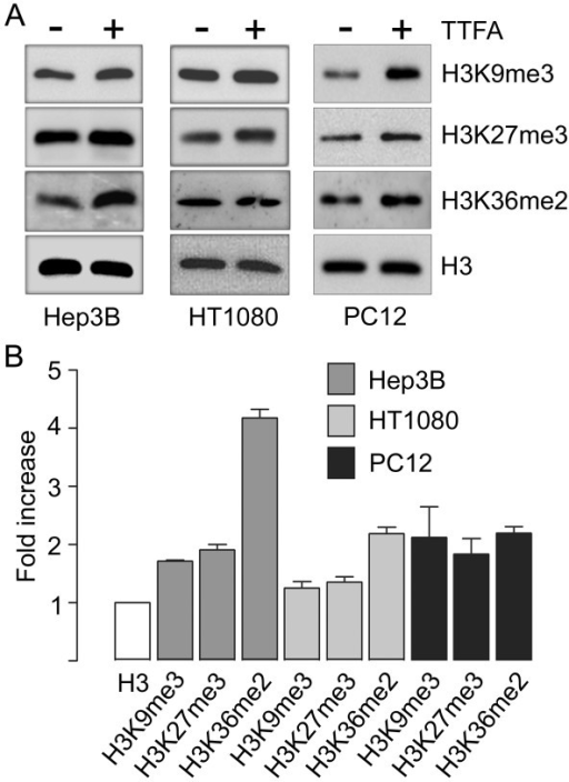 Pharmacological SDH inhibition increases histone methylation. (A). Immunoblot analysis of histone methylation in Hep3B, HT1080 and PC12 cells treated for 24 h with 500 μM 2-thenoyltrifluoroacetone (TTFA). In all cases lanes were loaded with 5 μg histone extract, and blots were analysed with the indicated antibodies. Histone H3 total expression was analysed as a loading control. (B) Densitometric analysis of three independent experiments. Fold increase was calculated as the ratio of methylated lysine to H3 control, between treatments.