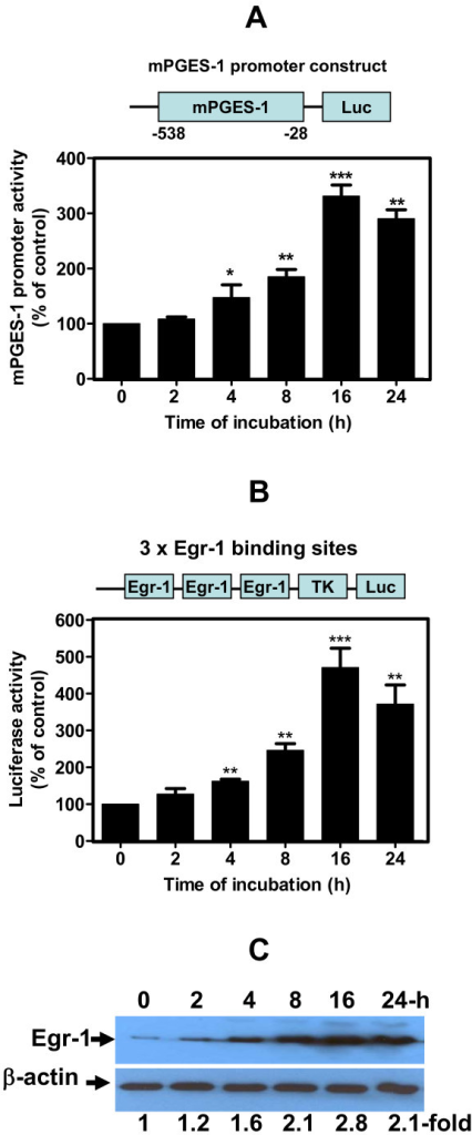 Hydroxynonenal-activated microsomal prostaglandin E2 synthase-1 promoter. Chondrocytes were transfected with (a) microsomal prostaglandin E2 synthase-1 (mPGES-1)-Luc or (b) p3xEgr-1-Luc containing three early growth response factor 1 (Egr-1) binding sites. The total amount of transfected DNA was kept constant using a corresponding empty vector. The next day, they were incubated with single addition of 10 μM 4-hydroxynonenal (HNE) for increasing incubation time periods. Luciferase activity was measured in cell extracts and normalized to β-galactosidase activity. (c) Osteoarthritis chondrocytes were treated with 10 μM HNE at increasing time of incubation and then Egr-1 protein expression was evaluated in the cellular extract by western blot. Data are means ± standard errors of the mean, n = 6, expressed as percentages of untreated cells. Student's unpaired t test: *P < 0.05, **P < 0.01, ***P < 0.001.