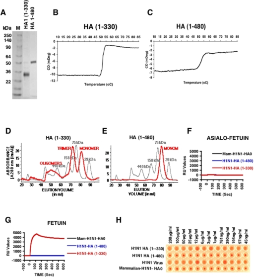 Biochemical and functional characterization of bacterially expressed and purified H1N1 HA proteins.(A) Purified E. coli derived HA proteins were analyzed by SDS-PAGE. DNA encoding HA1 (1–330) and HA (1–480) from HA gene segment of A/California/07/2009 (H1N1) generated from egg-grown virus were used for cloning in a T7 promoter based expression vector (pSK) where the desired polypeptide can be expressed as fusion protein with His6 tag at the C-terminus. The proteins were expressed, denatured and refolded under controlled redox conditions and purified using His-Trap fast flow chromatography to >90% purity (see Materials and Methods). The purified proteins run at their corresponding molecular weight in reducing SDS-PAGE. (B-C) CD melt spectroscopy shows that both H1N1 HA1 (1–330) (B) and H1N1 HA (1–480) (C) are properly folded. Both H1N1 HA proteins, at a concentration of 0.5 mg/ml in 20 mM PBS, pH 7.2, were subjected to heating at 0.5°C/min increments. The protein unfolding kinetics was measured at 222 nm using a J-715 Circular Dichroism system (JASCO corp., Easton, MD). (D-E) Superdex S-200 gel filtration chromatography of purified H1N1 HA proteins from E.coli. The panels present superimposed elution profiles of purified HA proteins (red line) overlaid with calibration standards (grey line). (D) The H1N1 HA (1–330) protein purified from bacterial cells existed as approximately 20% high-molecular-mass oligomer (>600 kDa), 45% trimer (∼110 kDa) and 35% monomer (34kDa) (red line). (E) H1N1 HA (1–480) is present only as a monomer (50kDa). (F-G) Binding kinetics of purified H1N1 HA proteins in a SPR based receptor binding assay. Steady-state equilibrium analysis of different H1N1-HA proteins to fetuin and its asialylated counterpart (Asialo-fetuin) was analyzed at 25°C using a ProteOn surface plasmon resonance biosensor (BioRad Labs). Samples of purified H1N1-HA proteins (10 µg/ml) were injected simultaneously over a mock surface to which no protein was bound, followed by the Asialofetuin in (F) or Fetuin in (G) immobilized on a sensor chip through the free amine group, and onto a blank flow cell, free of protein. Binding kinetics and data analysis were performed using ProteOn system surface plasmon resonance biosensor instrument (BioRad Labs, Hercules, CA). (H) Agglutination of human RBCs by properly folded bacterial H1N1 HA (1–330) protein. Serial dilutions of purified HA proteins or virus were mixed with washed RBC and incubated to analyze the receptor binding and cross-linking of human RBC. Virus H1N1xPR8 A/California/07/2009 (X-179A) was used as a control. Strong hemagglutination was observed for bacterial H1N1 HA (1–330) but not with either bacterial H1N1 HA (1–480) or mammalian H1N1 HA0.