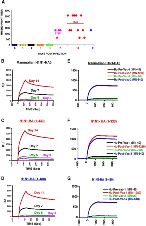 Development of neutralizing and anti-HA binding antibodies following wt H1N1 (A/California/7/2009) infection in ferrets & post-H1N1 vaccination (inactivated vaccine) in humans.(A) Microneutralization of H1N1 A/California/2009 virus with post-H1N1-infected ferret samples. End-point titers (mean of three replicates) using post-infection sera from multiple ferrets at each time point in a microneutralization assay performed with A/California/07/2009 (X-179A). For day 21, sera of ten animals were pooled. Each dot in other time-points represents an individual H1N1 infected ferret. (B–D) Antibody kinetics following H1N1 challenge in ferrets. Steady-state equilibrium analysis of post-H1N1 infected ferret sera or pre- & post-H1N1 vaccinated human sera to mammalian H1N1 HA0 (Immune Technologies, NY) and properly folded bacterially expressed H1N1 HA1 (1–330) or H1N1 HA (1–480) fragment were measured using SPR. Ten-fold diluted individual post-infection sera from each time point, were injected simultaneously onto recombinant mammalian H1N1 HA0 in (B) and properly folded bacterially expressed H1N1 HA1 (1–330) in (C) or H1N1 HA (1–480) in (D), immobilized on a sensor chip through the free amine group, and onto a blank flow cell, free of peptide. SPR binding of pre-vaccine and post-H1N1 vaccination sera from two individuals with different neutralizing antibody titers (in parenthesis) is shown with recombinant mammalian H1N1 HA0 in (E) and properly folded bacterially expressed H1N1 HA1 (1–330) in (F) or H1N1 HA (1–480) in (G). Binding was recorded using ProteOn system surface plasmon resonance biosensor instrument (BioRad Labs, Hercules, CA).