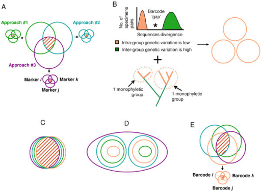 Four remarkable situations when distinct species concepts are applied. Each species concept groups a set of organisms, as members of a species taxon, as illustrated by a colored circle (purple for the phylogenetic species, green for the recombining or biological species, blue for the morphological species, pink for the barcode-based species). The overlap between groups is indicated by red dashes. A. In prokaryotes, the groups defined by the various species concepts are largely not nested. A unified species concept would be a poor descriptor of biodiversity: inter-approach pluralism is an issue for species definition. So is intra-approach pluralism, as indicated by smaller circles corresponding to the incongruent groups proposed by different markers, for a given species concept. B. Exploratory use of DNA barcoding to define groups of specimens belonging to a same species. On a histogram of p-distances frequencies, the identification of a barcode gap provides a threshold over which two specimens cannot belong to the same species. The monophyly of specimens falling in a same group can also be assessed. C. The ideal case: all the species concepts identify the same sets of organisms. Intra- and inter-approach pluralisms are not a problem. A unified species concept is a good descriptor of biodiversity D. Type I grey zone: the species concepts produce a series of nested groups. Ranking these groups is an issue. E. Type II grey zone: the species concepts produce partially non-nested groups. Inter- and intra-approach pluralism can be problematic. For cases D & E, pragmatic descriptors would be more accurate and informative about biodiversity than a unified species concept.