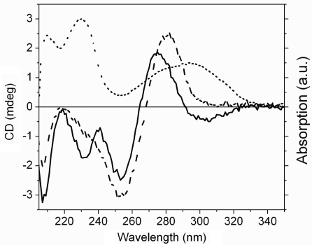 CD spectra of the modified GG-duplex (solid line) and of the corresponding natural duplex (dashed line). The difference in absorption spectra of AT and A (dotted line) was obtained by subtracting the absorption spectra of equimolar solutions of the natural GG-duplex from the modified GG-duplex. Spectra were recorded in phosphate buffer (500 mM Na+, pH 7.5) at 25°C at a duplex concentration of 2.5 µM.