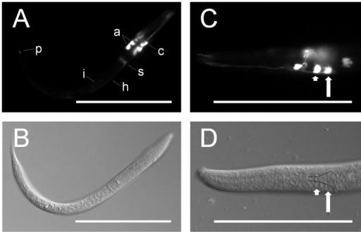 Ce-age-1 is expressed in amphidial neurons and other tissues.Fluorescence (A,C) and DIC (B,D) images of transgenic C. elegans first-stage larvae expressing Ce-age-1p::Ce-age-1(102bp) ::egfp::Ce-age-1t from an extra-chromosomal array. (A,B) Strong expression of the EGFP reporter was present in amphidial neurons (a), a neuron or support cell anterior to the nerve ring (c), and the sphincter connecting the pharynx to the intestine (s). Weak expression was present in the intestine (i), hypodermis (h), and a phasmidial neuron (p). (C,D) EGFP reporter expression was present in the amphidial neurons AWC (short arrow) and ASJ (long arrow). Cell bodies of the amphidial neurons align just lateral to the black lines in panel D [74]. Scale bars = 100 µm.