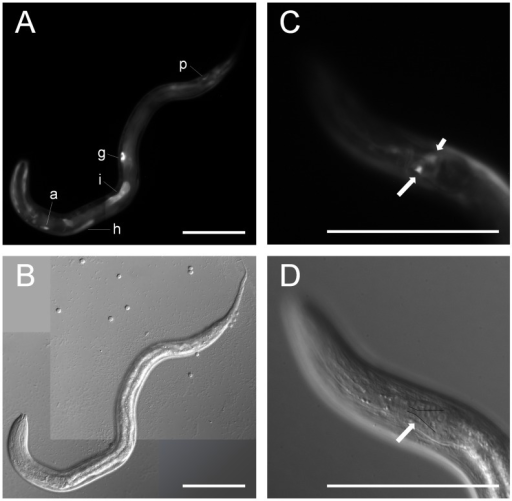 Ss-age-1 is expressed in amphidial neurons, the intestine, and other tissues.Fluorescence (A,C) and DIC (B,D) images of transgenic S. stercoralis post-free-living first-stage larvae expressing Ss-age-1p::egfp::Ss-era-1t from an extra-chromosomal array. (A,B) Expression of the EGFP reporter was present in the intestine (i), gonadal primordium (g), amphidial/head neuron (a), hypodermis (h), and phasmidial/tail neuron (p). (C,D) Expression of the EGFP reporter was present in an amphidial neuron (long arrow), with positional homology to AWC in C. elegans. The other cell body of the amphidial neuron pair is out of the plane of focus (short arrow). Cell bodies of the amphidial neurons align just lateral to the black lines in panel D [74]. Scale bars = 100 µm.