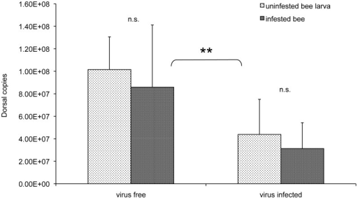 Dorsal expression in virus free and virus infected bees.Dorsal copies in virus free and virus infected honeybee larvae, either infested or not with one Varroa mite, 12 days after cell sealing; the error bars indicate the standard deviation. Average viral load in infected bee larvae, uninfested or infested by the Varroa mite, was 2.40E+10 and 3.22E+12, respectively. Dorsal expression was significantly reduced in virus infected bees compared to virus free bees, while Varroa infestation did not affect gene expression.