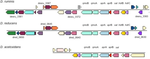 Organization of qmoBA, aprAB and hdrBC and neighboring genes for three Desulfotomaculum species. Other genes are indicated by their locus tags.