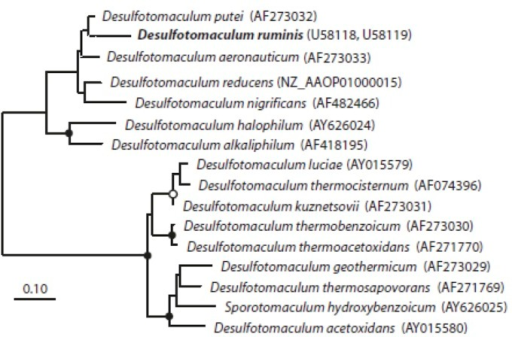 Phylogenetic tree of the dsrAB protein sequences. The trees (6A and 6B) were inferred from proteins sequences using RAxML (maximum-likelihood) in the software program ARB. The sequences of Archaeoglobus fulgidus, A. profundus, and A. veneficus were used as outgroup, but were pruned from the tree. The sequence of D. ruminis is written in bold. The black circles are bootstrap values between 100-75%, the white circles are values between 75-50%. The scale bar corresponds to 10% estimated sequence divergence.