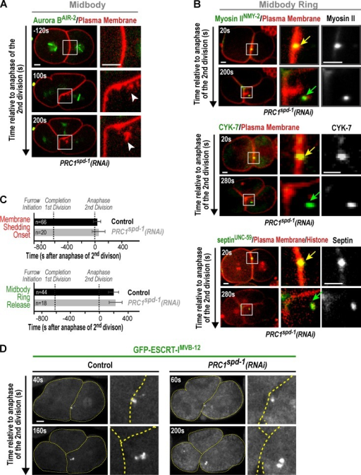 Midbody microtubules are not required for membrane shedding, ESCRT recruitment, or midbody ring release. (A) Central plane confocal images showing membrane shedding (white arrowheads) at the cell–cell boundary in a PRC1spd-1(RNAi) embryo (n = 9 embryos) expressing an mCherry-tagged plasma membrane probe and GFP–Aurora BAIR-2. Times are relative to anaphase of the second division. (B) Central plane confocal images showing midbody ring release in a PRC1spd-1(RNAi) embryo expressing the midbody ring markers Myosin IINMY-2–GFP (n = 8 embryos), GFP–CYK-7 (n = 10 embryos), or GFP-septinUNC-59 (n = 5 embryos) along with the mCherry-tagged plasma membrane probe and mCherry-histone. Times are relative to anaphase of the second division. Midbody rings are highlighted before (yellow arrows) and after (green arrows) release from the cell–cell junction. (C) Graphs plotting the mean onset of membrane shedding (top) and midbody ring release (bottom) for control and PRC1spd-1(RNAi) embryos. Error bars are the SDs. (D) Central plane confocal images of control (n = 6 embryos) and PRC1spd-1(RNAi) (n = 7 embryos) embryos expressing GFP–ESCRT-IMVB-12. Times are relative to anaphase of the second division. Dashed yellow lines mark the cell boundaries. Images are scaled equivalently. White boxes on the low magnification images in A and B mark the location of the region shown at higher magnification in the adjacent images. Bars, 5 µm.