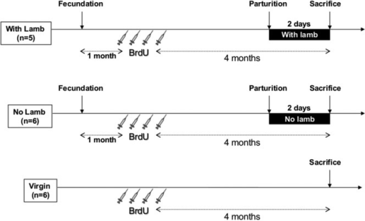 "Time table and protocol design. All ewes received four intravenous injections of BrdU (20 mg/kg, 1 injection/day) 4 months before sacrifice. In the two parturient groups (""With Lamb"" and ""No Lamb""), BrdU injections were performed 1 month after fecundation. In the ""With Lamb"" group (n = 5), ewes could interact with her lamb and maternal behavior was observed at 0, 6 and 24 h after parturition for 10 min each and selectivity test was performed at 2 days postpartum just before sacrifice. In the ""No Lamb"" group (n = 6), lambs were removed just after delivery. Virgin group (n = 6) is composed of iparous ewes."