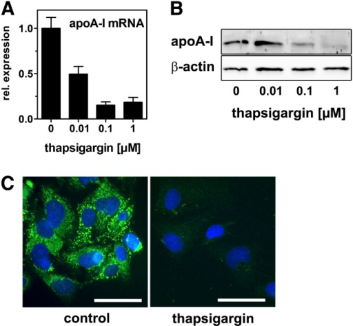 ER stress impairs apoA-I expression. HepG2 cells were incubated with increasing concentrations of thapsigargin (A, B) or 0.1 µM thapsigargin (C) in media containing 10% LPDS for 24 h. ApoA-I mRNA was determined by qRT-PCR and normalized to 18s expression (A). ApoA-I protein expression was analyzed by Western blotting (B) and immunofluorescence analyses (C). Green: ABCA1; blue: DAPI. Bar = 10 µm. apoA-I mRNA and protein are decreased by thapsigargin treatment. qRT-PCR: mean ± SD (n = 3). Western blot and immunofluorescence analysis: representative images from two independent experiments are shown.