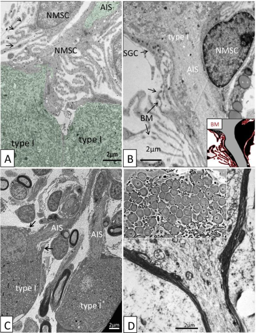 "Transmission electron microscopy (TEM) of SGNs in the human (A–C) and cat (D). (A) Type I SGNs (artificially stained green) at the hillock region are surrounded by several NMSCs whose cell coats are much folded and outlined by a continuous BM (arrows). AIS, axonal initial segment. (B) Extensively foliated NMSCs envelop the nerve cell pole and the axonal initial segment (AIS). A graphic delineation of the basement membrane (BM) outline (red) is shown in inset. SGC, Satellite glial cell. (C) Human type I SGNs with axonal initial segment (AIS). NMSCs surround the axonal processes. At AIS entry zone ""valve-like"" protrusions from bordering cells can be seen (arrows). (D) TEM of the hillock region in type I SGNs in the adult cat. The neural cell body is surrounded by a single myelinated Schwann cell. Inset, light microscopy of the cat SG. (For interpretation of the references to color in this figure legend, the reader is referred to the web version of this article.)"