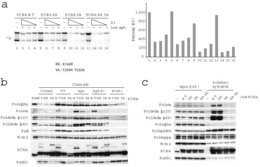 The role of PCNA in DNA replication and chromatin association of replication proteins upon fork collapse. In (a) replication of sperm nuclei incubated in extracts for 80 min in the presence of 1 μg ml−1 aphidicolin and 0, 0.73, 0.37, 0.18 U μl−1 S1 nuclease and PCNA wild type (WT), PCNA K164R (KR), PCNA Y249A Y250A (YA) or PCNA K164R Y249A Y250A (KR YA) recombinant proteins. Replication products were resolved by neutral agarose gel and subjected to autoradiography (left). Signal intensities were quantified and reported in the graph (right). (b) Binding to chromatin of the indicated proteins was monitored by immunoblotting of chromatin treated with 200 J m−2 UV or incubated in extracts treated with 1 μg ml−1 aphidicolin, 0.97 U μl−1 S1 nuclease or 0.1 U μl−1 EcoR1 and recombinant PCNA wild type (WT), PCNA K164R (KR) or PCNA Y249A Y250A (YA) as indicated. 0.5 μl egg extract was loaded as a control (Ext). (c) The interaction of PCNA and replication proteins in egg extract was monitored by incubation of His-tagged wild type and mutant PCNA proteins followed by pull down with Ni-NTA sepharose. The interacting proteins were detected by immunoblotting as indicated.