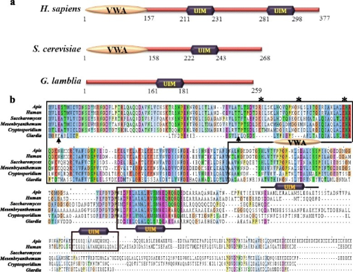 Domain architecture and sequence alignment of putative GlRpn10.a. The domain architecture of Rpn10/S5a subunit of H. sapiens, S. cerevisiae and G. lamblia. Numbers indicate the position of domains within the polypeptide chain. b. Sequence alignment of GlRpn10 with orthologous sequences from A. mellifera, H. sapiens, S. cerevisiae, M. crystallinum and C. parvum. Sequences corresponding to the VWA domain and UIM are boxed, except for the third UIM of A. mellifera, which is indicated with a bar above the sequence. * represents K residues of the S. cerevisiae orthologue that undergoes ubiquitination. Black arrows mark the K residues present close to the N-terminal end of GlRpn10.