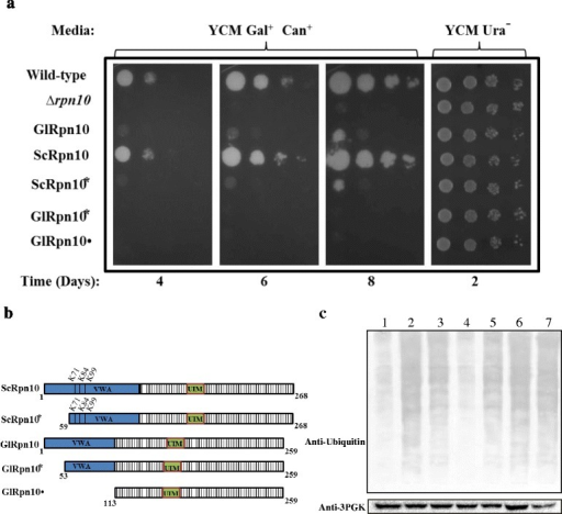 Functional complementation with GlRpn10. (a)S. cerevisiae rpn10∆ strain was transformed individually with each of the constructs expressing the proteins shown in Panel b. The growth of these transformed yeast cells was monitored by spot test using serial dilutions on YCM plates lacking uracil and containing galactose and canavanine. To ensure that equal number of cells have been used, spotting was also done on YCM plates lacking uracil and containing glucose. All the plates were incubated at 30 °C. (b) Schematic diagrams of GlRpn10, ScRpn10, and different deletion variants of these two proteins. The regions corresponding to the two domains, VWA and the UIM, are denoted in blue and green respectively. The K residues within the VWA domain of ScRpn10 are marked and their respective positions are indicated above. (c) Western blot using anti-ubiquitin antibody of the total cell extract of wild-type, rpn10∆ and rpn10∆ transformed with the above mentioned constructs. The composition of the growth medium is same as given in (a) above, except that these transformants were grown in liquid medium. Extracts were loaded in the following order: lane 1, Wild-type transformed with vector; lane 2, rpn10∆ transformed with vector; lane 3, rpn10∆ cells expressing GlRpn10; lane 4, rpn10∆ cells expressing ScRpn10; lane 5, rpn10∆ cells expressing ScRpn10*; lane 6, rpn10∆ cells expressing GlRpn10* and lane 7, rpn10∆ cells expressing GlRpn10•. 3-PGK was used as loading control.
