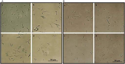 Glycoprotein- induced cell wall damage and cell shape changes in log-phase E. coli and B. subtilis cultures.A. E. coli. a. untreated control, b. E. coli incubated with G177, c. G208 and d. G210. B. B. subtilis. a. untreated control, b. B. subtilis incubated with G177, c. G208 and d. G210.