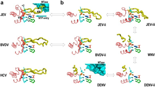 Conformational heterogeneity of Flaviviridae polymerase structure may be related to in cis regulations. (a) Representative Flaviviridae polymerase structure adopting the canonical conformations (pdb entries: JEV/4K6M, BVDV/1S4F, HCV/1NB4); (b) Disorder and/or alternative folding of motifs F and G observed in Flaviviridae polymerases (pdb entries: JEV-ii/4MTP [60], JEV-iii/4HDG, WNV/2HFZ, DENV/4V0Q, DENV-ii/2J7U, BVDV-ii/2CJQ). Motifs F and G are shown as thick noodles and the pinky finger residues flanking motif G are shown as thin noodles. Note that in the apo JEV RdRP structure (JEV-ii) and GTP-bound JEV RdRP structure, the NTP entry channel is blocked by the non-canonically folded motif F. Color coding is as in Figure 1b and Figure 3b. A 4 nt RNA template, a dinucleotide primer, and an ADP molecule taken from an HCV IC structure (pdb entry: 4WTJ) were modeled into all structures for comparison. The α-carbons of JEV NS5 residues 409–410 in motif G and 459, 461, 474 in motif F and their equivalents in other polymerases are shown as spheres to help distinguish canonical and alternative folding of these two motifs. Double arrows are used to connect polymerases from the same viral species or from the same genus. The MTase in the full-length Flavivirus NS5 structures are shown as surface representations. Structure superimpositions were carried out as in Figure 1b.