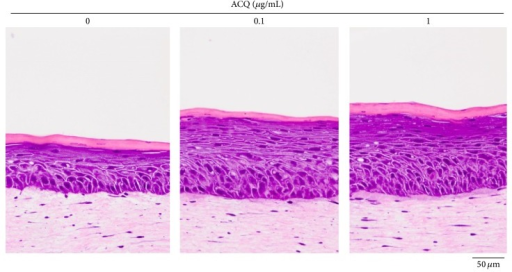 Histologic findings of skin equivalents. Compared to control SE, ACQ (0, 0.1, and 1 μg/mL) treated SE became thicker. Experiments were repeated twice and the result shown is a representative experiment (×200, scale bar is 50 μM).
