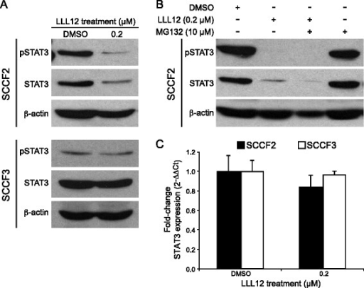 Effects of LLL12 treatment on pSTAT3 and STAT3 expression in feline OSCC cell lines. a Feline OSCC cell lines were treated with DMSO or 0.2 μM LLL12 for 12 h prior to collection. Protein lysates were generated, separated by SDS-PAGE and Western blotting for pSTAT3, STAT3 and β-actin was performed. b SCCF2 cells were treatment with 0.2 μM LLL12 alone, 10 μM MG132 alone or MG132 in combination with LLL12 for 12 h. c Feline OSCC cell lines were treated with DMSO or 0.2 μM LLL12 for 12 h. RNA was collected and quantitative RT-PCR for STAT3 was performed