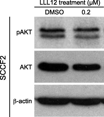 Evaluation of PI3K/AKT/mTOR signaling pathway in feline OSCC. Feline OSCC cells were treated with DMSO or 0.2 μM LLL12 for 12 h. Cells were harvested and total protein isolated followed by SDS-PAGE and Western blotting for pAKT, AKT and β-actin