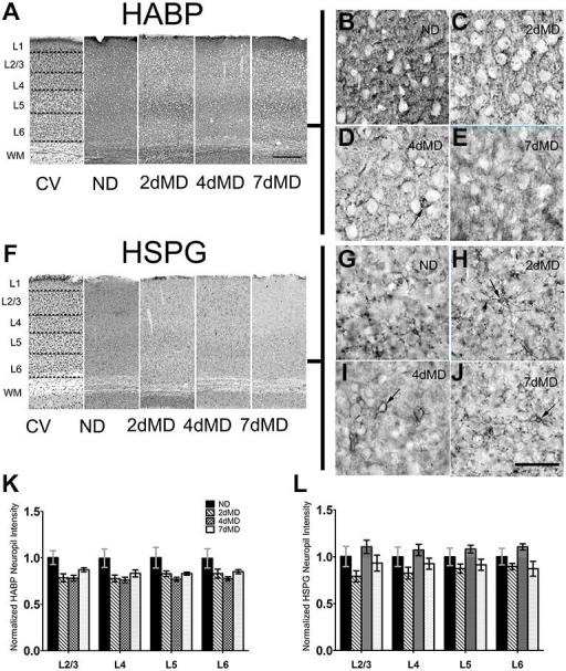 Hyaluronic acid (HA) and heparin sulfate proteoglycans (HSPGs) are differentially regulated in rodent sensory cortex. (A) Representative examples of low-mag (4X) images showing laminar demarcation in cresyl violet (CV) alongside HABP immuno-reactive tissue. (B–E) hyularonic acid binding protein (HABP) immunohistochemistry in all conditions shows immunoreactivity in neuropil and occasional dense cellular labeling (arrow). (F) Representative examples of low-mag (4X) images showing laminar demarcation in CV alongside HSPG immuno-reactive tissue. (G–J) Anti-HSPG immunoreactivity displays dense staining around cell bodies (arrows) and in neuropil in all conditions. (K,L) HABP labeling intensity in cortical neuropil was altered by deprivation (Two-way ANOVA; main effect of deprivation, p < 0.05; Bonferroni post hoc analysis, p > 0.05 for all comparisons). (J) HSPG labeling intensity was unchanged when compared to ND controls suggesting differential regulation of HSPGs following monocular deprivation (MD). Values were normalized to their respective ND controls for presentation purposes only. All values reported are the mean ± standard error of the mean (SEM). Scale bars (A,F) = 250 μm; (B–E,G–J) = 200 μm.