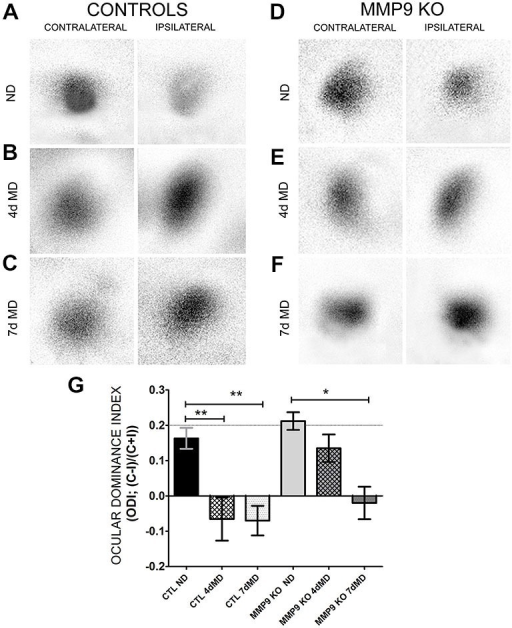 Ocular dominance plasticity (ODP) is attenuated in MMP9 KO mice. (A–F) Representative examples of visually-evoked amplitude maps measured using intrinsic signal optical imaging (iOS) in control (C57Bl/6) and MMP9 KO mice. (G) Quantitative analysis of ODP comparing changes in the ocular dominance index (ODI). Values above 0 denote an ODI with a contralateral bias, while values below value suggest an ODI with an ipsilateral bias. CTL ND (black bar) have a characteristic and expected contralateral bias that significantly shifts to an ipsilateral bias after both 4dMD (CTL 4dMD, white hatched bar) and 7dMD (CTL 7dMD, white dotted bars). MMP9 KO ND (gray bar) displayed a contralateral bias, similar to CTL ND. Following 4dMD (gray hatched bar), MMP9 KO mice failed to demonstrate an ODP shift. ODP was apparent in MMP9 KO 7dMD (gray dotted bar). Statistics = Two-Way ANOVA with bonferroni multiple comparisons. All values reported are the mean ± SEM. *p < 0.05, **p < 0.001.