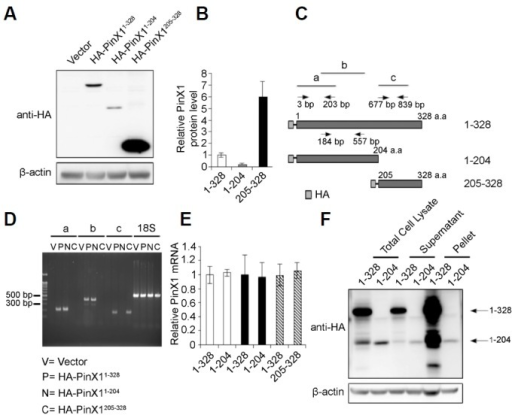 Expression of HA-tagged PinX1 truncations in HeLa cells. (A) Expression of HA-tagged PinX1 derivatives. HeLa cells transfected with PinX1 truncation mutants for 48 h were subjected to immunoblotting. β-actin was used as a loading control. (B) Quantification of PinX1 protein represented in A. PinX1 level normalized to β-actin was quantified as the ratio relative to HA-PinX11–328. Error bars were derived from three independent experiments. (C) Location of PCR primers in PinX1. Three pairs of PCR primers were indicated as a, b, and c. (D) RT-PCR showing levels of the HA-PinX1 derivatives. Total RNA was isolated from HeLa cells transfected with the indicated plasmids. RT-PCR was performed for PinX1 using the primers shown in C, indicated as a, b, and c. PinX1 and 18S rRNA were amplified for 20 and 18 cycles, respectively, and stained with ethidium bromide. (E) Quantification of relative PinX1 mRNA levels represented in D. PinX1 normalized to 18S rRNA was quantified as the ratio relative to HA-PinX11–328. Error bars were derived from two independent experiments. (F) Fractionation of cell lysates. Cells collected at 2 days post-transfection were lysed by the freeze-thaw method, and fractions of supernatant and pellet were obtained after centrifugation of total cell lysates. A whole pellet resuspended in 10 μL of loading buffer and 40 μg of each of the total cell lysates and supernatants were loaded, followed by immunoblotting.