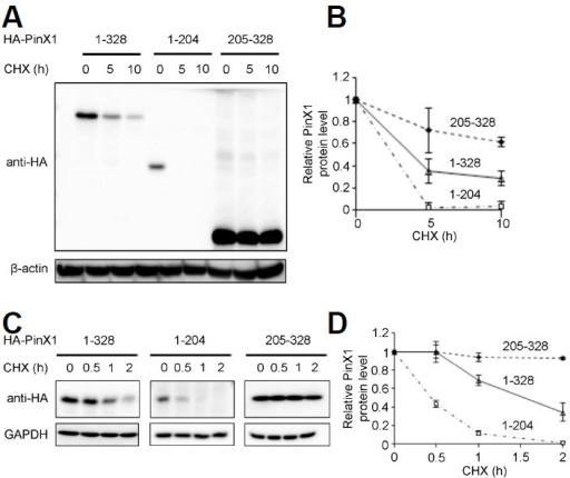 Protein stability of HA-tagged PinX1 derivatives in HeLa cells. (A) Protein stability of PinX1 truncations. HeLa cells transfected with PinX1 truncations for 48 h were treated with cycloheximide for the indicated times, followed by immunoblot. (B) Quantification of PinX1 protein represented in A. PinX1 level normalized to β-actin level was quantified as the ratio relative to the level at the 0 h time point, and the error bars were derived from three independent experiments. (C) Protein stability of PinX1 truncations with a shorter exposure time to CHX. Cells were prepared as described in A and treated with cycloheximide for the indicated times, followed by immunoblot. GAPDH was used as a loading control. (D). Quantification of PinX1 protein represented in C. PinX1 level normalized to GAPDH level was quantified as described in B. Error bars were derived from two independent experiments.