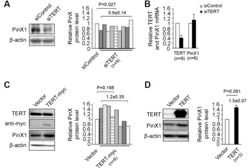 Effect of TERT on the accumulation of PinX1. (A) PinX1 level in TERT-depleted cells. Cell lysates prepared from HeLa cells transfected with 50 nM of siTERT or siControl for 48 h were subjected to immunoblotting. PinX1 normalized to β-actin was quantified as the ratio relative to siControl-treated cells, shown in the graph on the right. (B) qRT-PCR for TERT and PinX1 in the samples shown in A. Total RNA isolated from a portion of the cells tested in A was subjected to qRT-PCR. mRNA levels were quantified using the 2−ΔΔCT method, for which β-actin was determined as an internal control. TERT and PinX1 were detected from nine and six assays shown in A, respectively. (C) PinX1 level in TERT-myc expressing cells. Cell lysates prepared from HeLa cells transfected with TERT-myc or vector for 48 h were subjected to immunoblotting. PinX1 protein was quantified as described in A. (D) Abundance of PinX1 in TERT-expressing ALT cells. PinX1 was detected in GM847/TERT and GM847/vector, stable cell lines by immunoblot. PinX1 protein was quantified as described previously from three independent experiments. The Student's t-test was used for statistical analysis. P-values at 0.05 or smaller were deemed statistically significant.