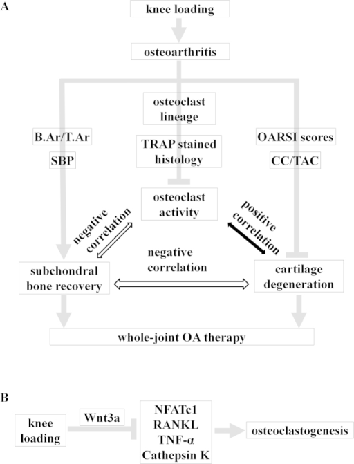 Proposed mechanism of knee loading affects on OA by inhibiting osteoclast development.(A) A significant positive correlation was observed between osteoclast activity and cartilage degeneration. A significant negative correlation was observed between osteoclast activity and subchondral bone recovery. Subchondral bone recovery negatively correlated with cartilage degeneration. (B) Proposed molecular mechanism of knee loading suppresses osteoclastogenesis by Wnt signaling pathway.