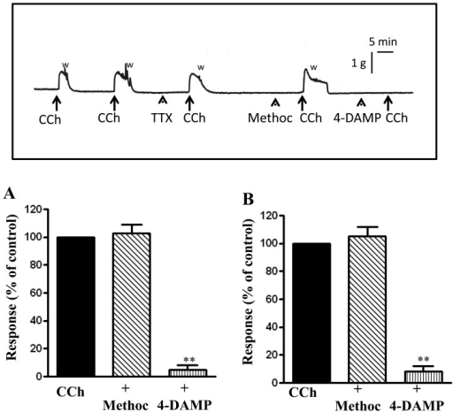"Contractile response to carbachol is mediated via m3 receptors. Longitudinalmuscle strips of rat colon were placed in an organ bath and subjected to 1 g ofbasal tension. After 30 min of equilibration, strips were incubated for 15 min with1 µM of the m2 receptor antagonist methoctramine or 1 µM of the m3 receptorantagonist 4-DAMP and then with CCh (1 µM). Contractile response with maximum forcewas measured as peak contraction (A) and total response for first 2 min, measured asarea under curve (AUC), was considered as total contraction (B). Carbachol elicitedcontraction was selectively blocked by 4-DAMP. Values are means ± SEM of 4experiments and each experimental value derived from several strips.**P<0.05 significant inhibition of CCh-induced contraction.The inset illustrates an original tracing showing abolition of carbachol-inducedcontraction by 1 µM 4-DAMP but not by 1 µM tetrodotoxin (TTX) or 1 µM methoctramine.""W"" indicates when the preparation was washed with fresh Kreb's buffer after peakcontraction. Horizontal bar indicates time in minutes and the vertical barillustrates force in grams."