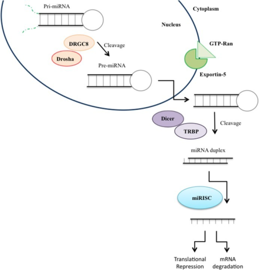 miRNA biogenesis. MicroRNA (miRNA) genes are transcribed as primary miRNAs (pri-miRNAs) by RNA polymerase II (Pol II) in the nucleus. The long pri-miRNAs are cleaved by Microprocessor, which includes DROSHA and DiGeorge syndrome critical region 8 (DGCR8), to produce precursor miRNAs (pre-miRNAs), which are then exported to the cytoplasm by Exportin 5 and further processed by the DICER/TRPB complex to produce an miRNA duplex. One strand of the mature miRNA (the guide strand) is loaded into the miRNA-induced silencing complex (RISC) mediating gene suppression by targeted mRNA degradation or translational repression.